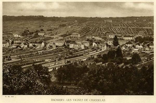 Thomery vines