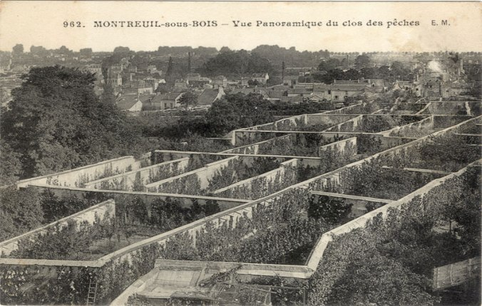 Peaches on the fruit walls of montreuil paris